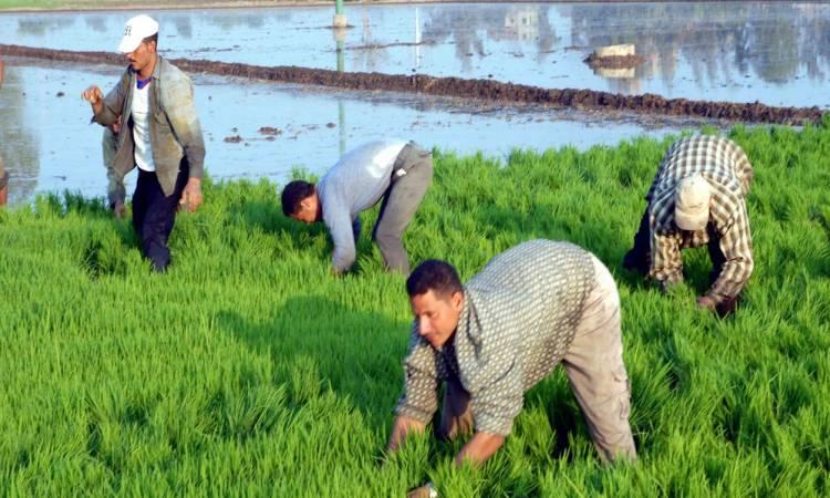 المحافظات المسموح لها بزراعة الأرز العام الحالى