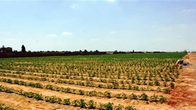 غرب المنيا تبدأ موسم زراعه القمح