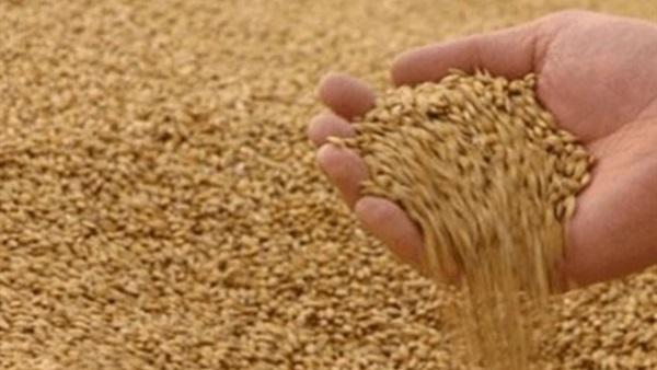 الزراعة : تم الإنتهاء من توزيع 80% من التقاوى الشتوية للمزارعين