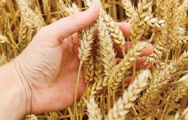 فيديو.. مزارعو القمح يطالبون بسعر عادل للتوريد يراعى ارتفاع تكلفة الإنتاج